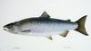 Coho Salmon artwork (Oncorhynchus kisutch)