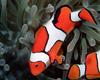 [NG] Nature - Clownfish and Anemone