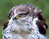 [NG] Nature - Ferruginous Hawk