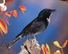 [NG] Nature - Fork-Tailed Drongo