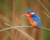 [NG] Nature - Malachite Kingfisher