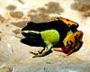 [NG] Nature - Painted Mantella Frog