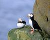 [NG] Nature - Horned Puffins