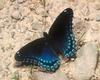 [NG] Nature - Red Spotted Purple