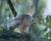 [NG] Nature - Red-Shouldered Hawk