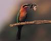 [NG] Nature - White-Fronted Bee Eater