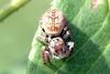 Small and cute jumping spider