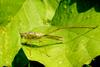 Phaneroptera falcata (Sickle-bearing bush-cricket)