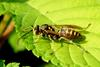 Polistes chinensis antennalis (Asian Paper Wasp)