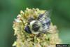 Bumble Bee (Bombus sp.)