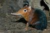 Giant Elephant Shrew (Rhynchocyon petersi)