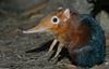 Giant Elephant Shrew (Rhynchocyon petersi) 1502
