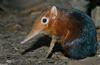 Giant Elephant Shrew (Rhynchocyon petersi)1503