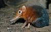 Giant Elephant Shrew (Rhynchocyon petersi)1504