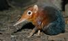 Giant Elephant Shrew (Rhynchocyon petersi)1505