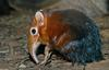 Giant Elephant Shrew (Rhynchocyon petersi)1507