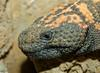 Gila Monster face (Heloderma suspectum)