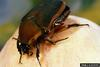 Green June Beetle (Cotinis nitidus)
