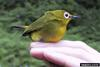 African Yellow White-eye (Zosterops senegalensis)