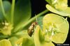 Brown Dot Leafy Spurge Flea Beetle (Aphthona cyparissiae)