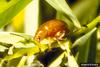 Copper Leafy Spurge Flea Beetle (Aphthona flava)