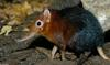 Giant Elephant Shrew (Rhynchocyon petersi)1530