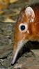 Giant Elephant Shrew (Rhynchocyon petersi)1531