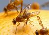 A Promising Lure May Curb South American Fruit Fly Woes [USDA-ARS 2005-11-21]
