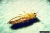 Western Flower Thrips (Frankliniella occidentalis)