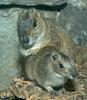 Rock Cavy (Kerodon rupestris) with young