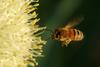 Secrets of bee flight revealed [NewScientist 2005-11-28 16:57]