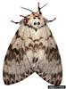 Rosy Gypsy Moth (Lymantria mathura)