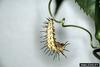 Zebra Longwing Butterfly (Heliconius charitonius) larva