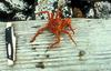 Red King Crab (Paralithodes camtschaticus)