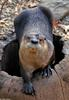 Northern River Otter (Lontra canadensis laxatina)