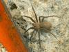 Brown Recluse Spider (Loxosceles reclusa)