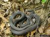 Buttermilk Racer (Coluber constrictor anthicus)