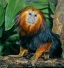 Golden-headed Lion Tamarin (Leontopithecus chrysomelas)2345