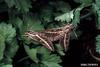 White-lined Sphinx Moth (Celerio lineata)