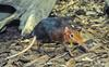 Giant Elephant Shrew (Rhynchocyon petersi)003