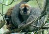 Red-fronted Brown Lemur (Eulemur fulvus rufus)1024x732