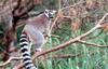 Ring Tailed Lemur (Lemur catta)0002