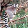 Ring Tailed Lemur (Lemur catta)0003