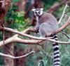 Ring Tailed Lemur (Lemur catta)0004