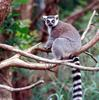 Ring Tailed Lemur (Lemur catta)0008