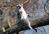 Ring Tailed Lemur (Lemur catta)267