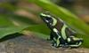 Green and Black Poison Dart Frog (Dendrobates auratus)002