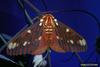 Regal Moth (Citheronia regalis)