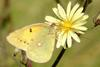 Colias erate (Eastern Pale Clouded Yellow)