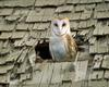 Barn Owl in Roof Hole